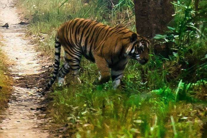 bengal-tiger-chitwan-national-park-nepal